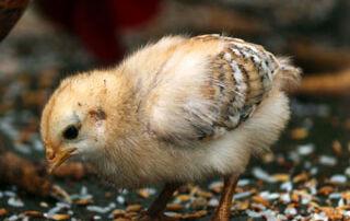 Photo of baby chick on ground
